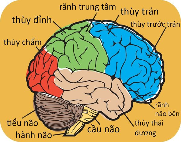 4 thùy của não