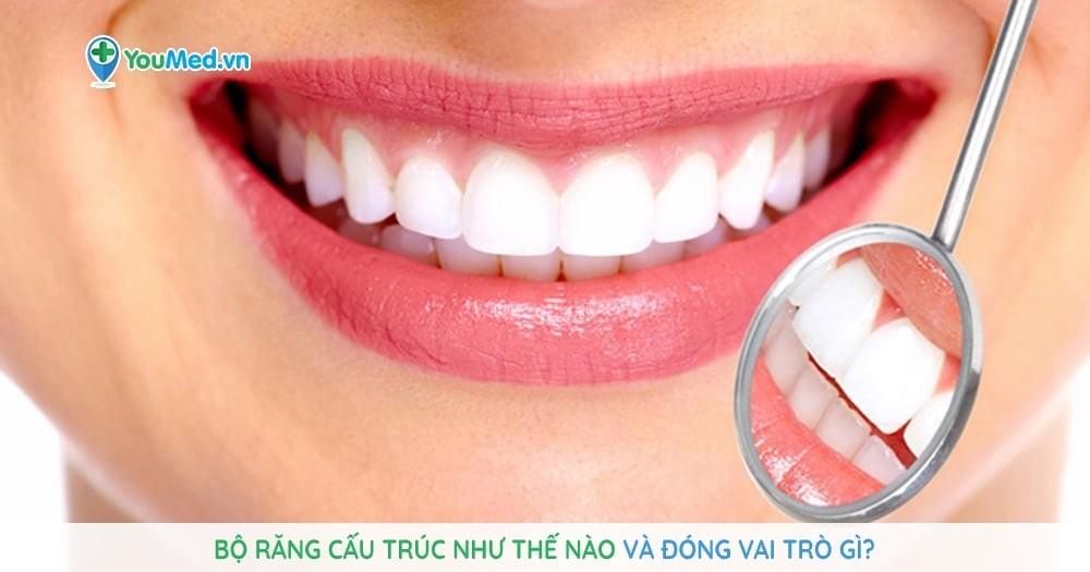 Bộ răng cấu trúc như thế nào và đóng vai trò gì?