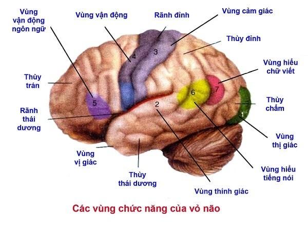 Các vùng chức năng của não