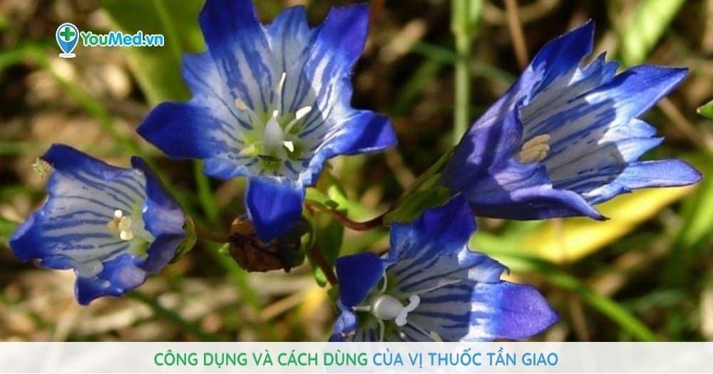 Công dụng và cách dùng của vị thuốc Tần giao