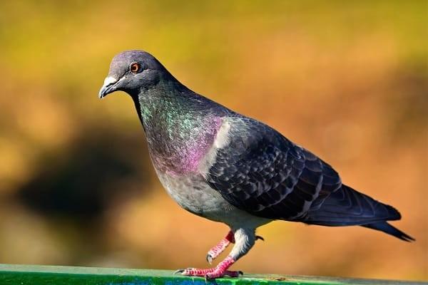 Chim là một trong những nguồn lây thường gặp của nấm histoplasma