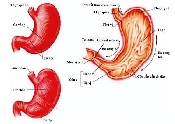 Giải phẫu dạ dày