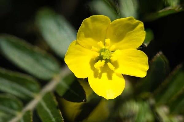 Hoa Bạch tật lê có màu vàng rực rỡ