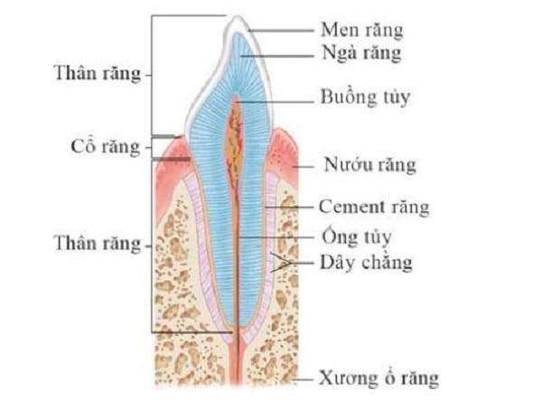 Cơ quan răng