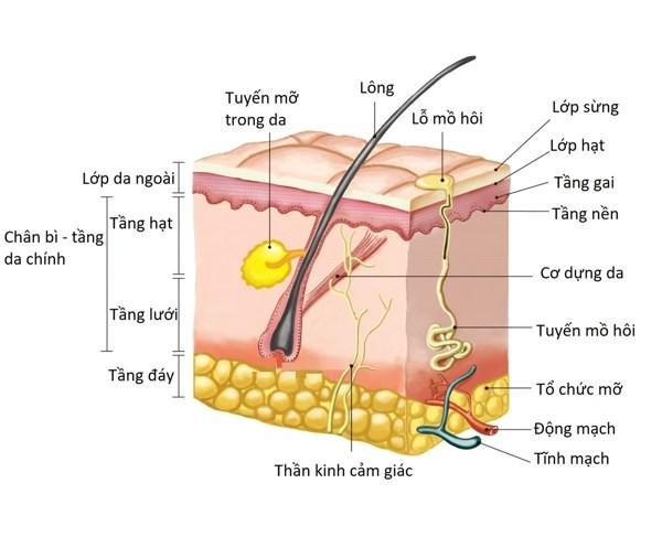 cấu tạo lông người