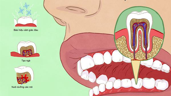 chức năng tủy răng