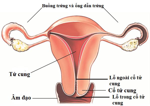 cổ tử cung