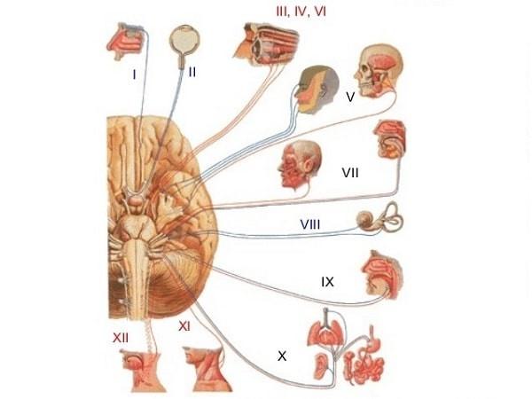 12 dây thần kinh sọ