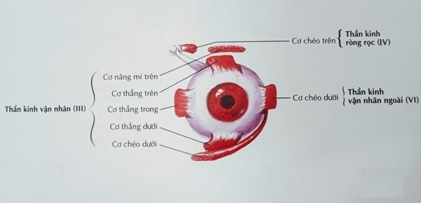 Các dây thần kinh III, IV và VI