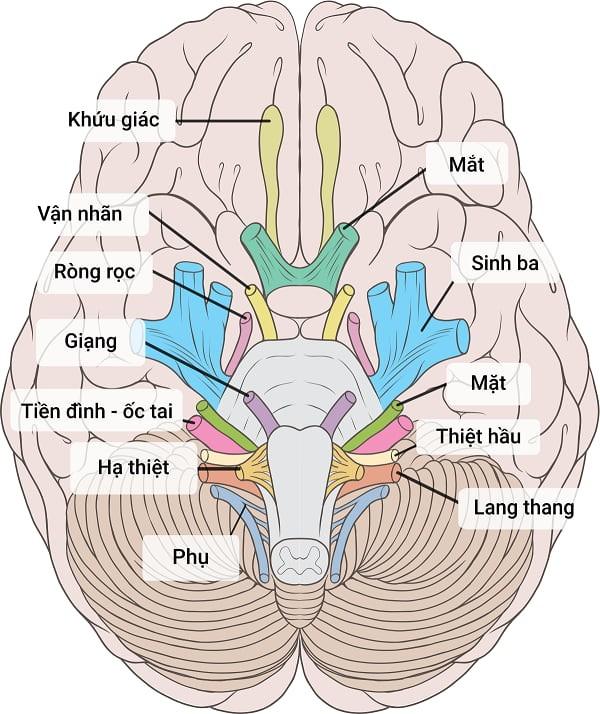 Cận cảnh vị trí 12 dây thần kinh sọ