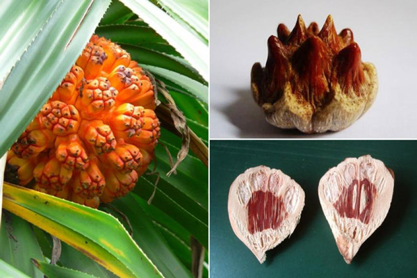 Hạch và quả cây Dứa dại