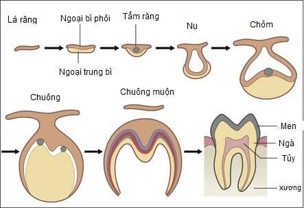 giai đoạn hình thành răng