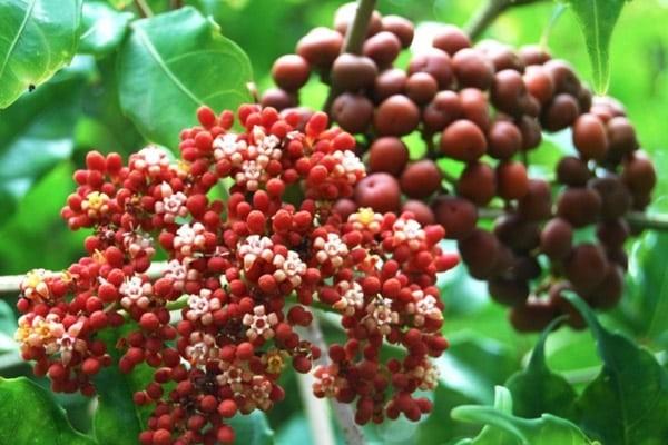 Chùm hoa và quả cây Gối hạc