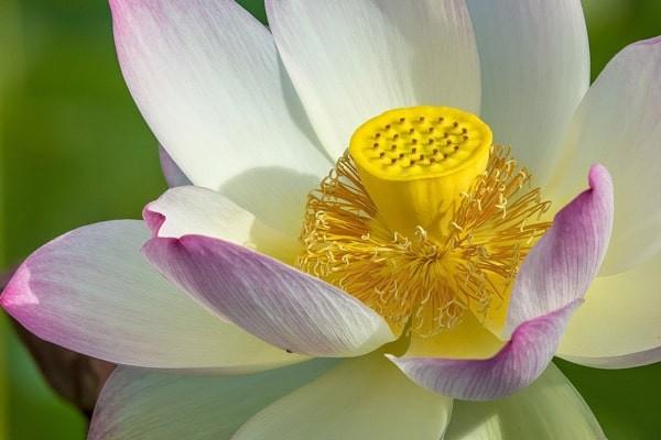 Liên tu là phần nhị của hoa sen
