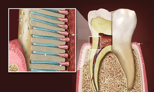 ngà răng
