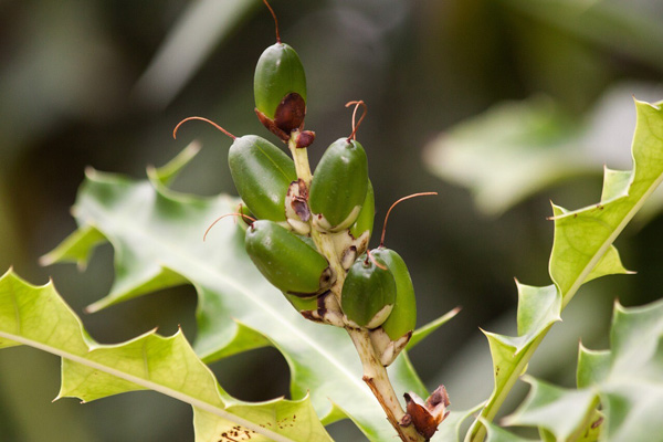 Hình dạng quả của cây Ô rô nước