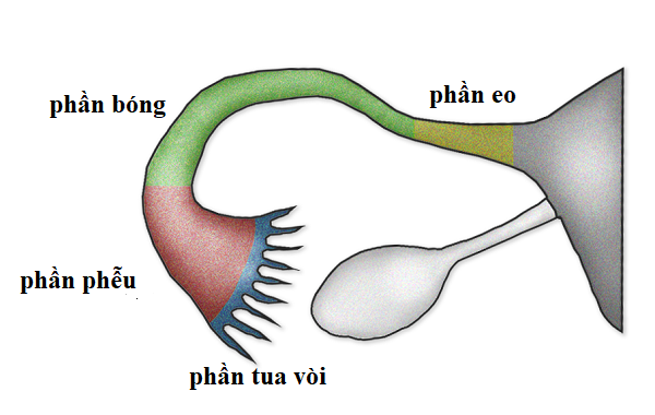 ống dẫn trứng