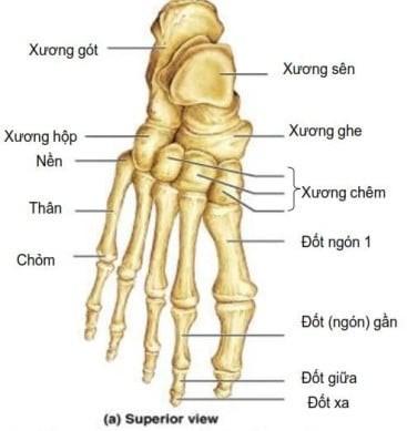 các xương bàn chân nhìn từ trên xuống