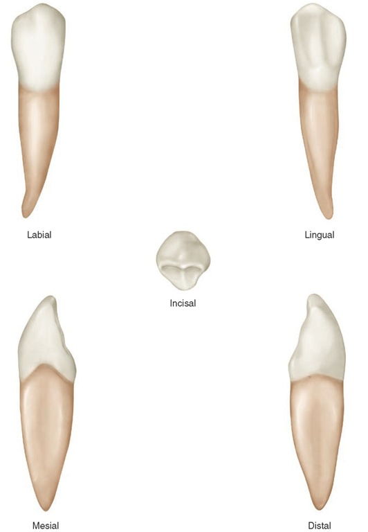 Răng nanh hàm dưới