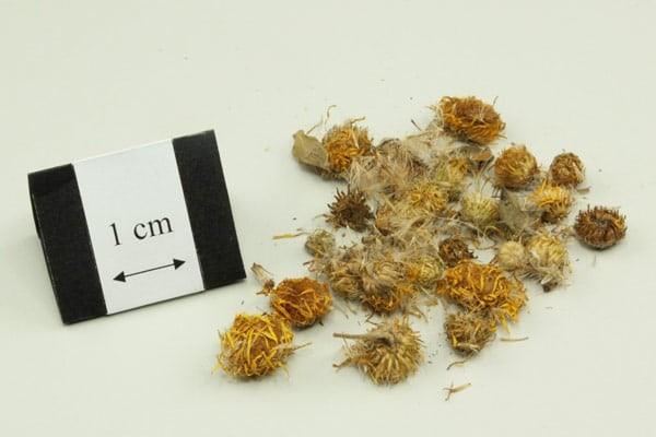 Toàn phúc hoa được cho là có thể kiểm soát các bệnh dị ứng