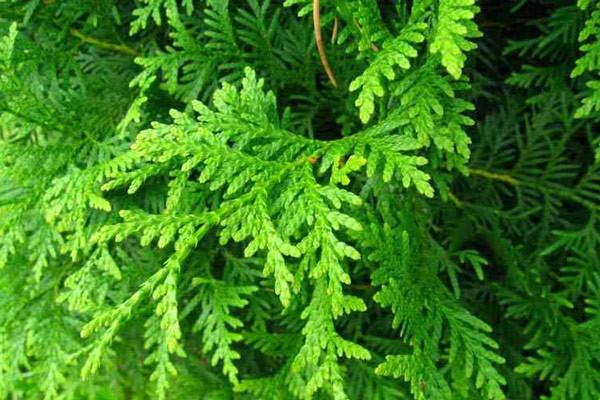 Lá cây Trắc bá là một trong những bộ phận sử dụng làm thuốc