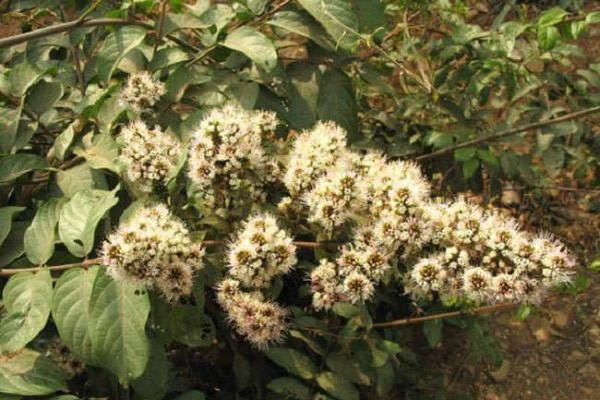 Hoa của cây Trâm bầu