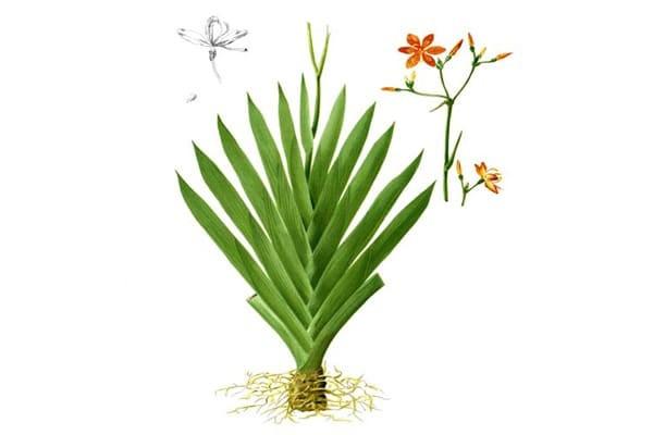 Hình ảnh thân, rễ, hoa, lá của Xạ can