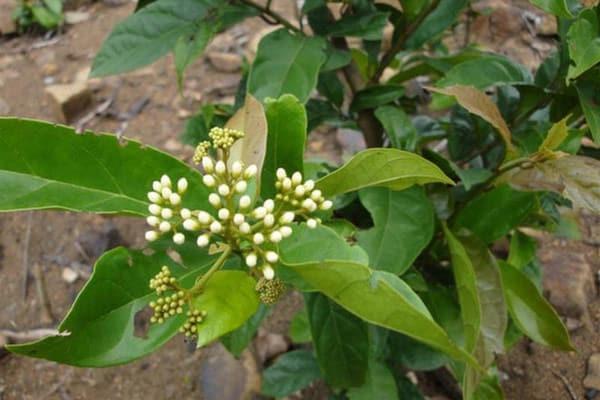 Hình ảnh lá, hoa, quả Xạ đen