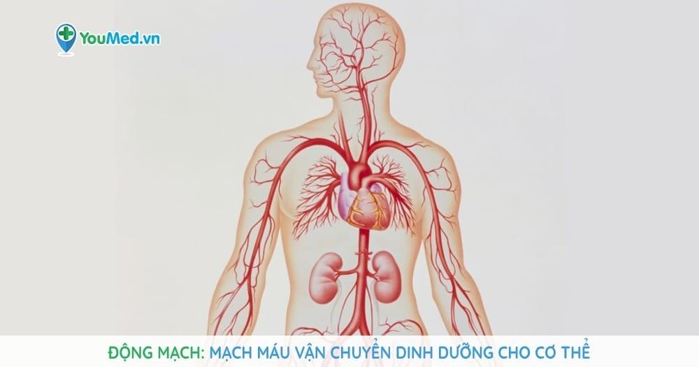Động mạch: Mạch máu vận chuyển dinh dưỡng cho cơ thể