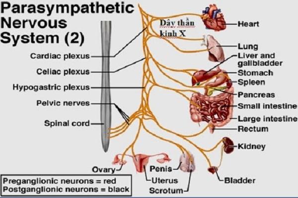 12 đôi dây thần kinh tủy sống ngực