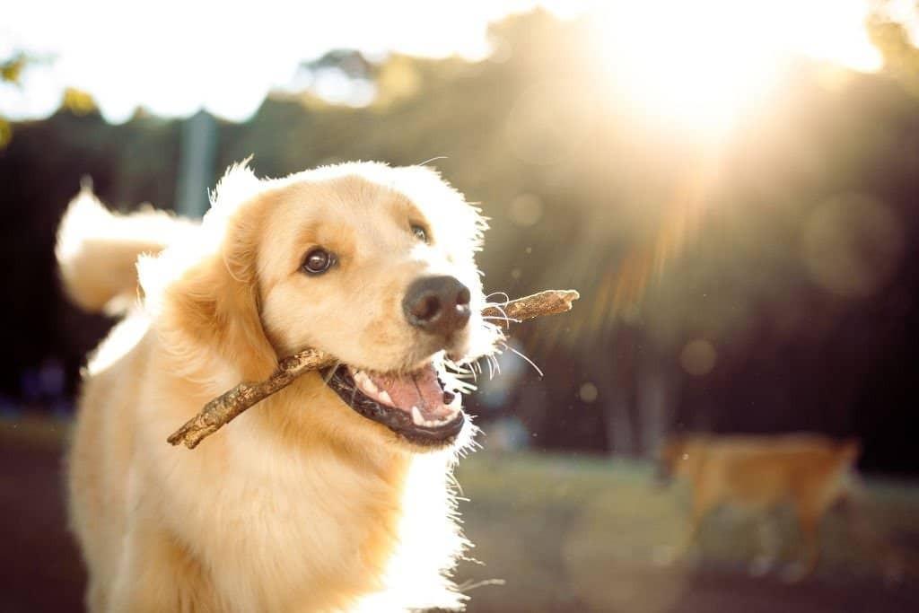 Tiếp xúc gần gũi với chó làm tăng nguy cơ nhiễm bệnh
