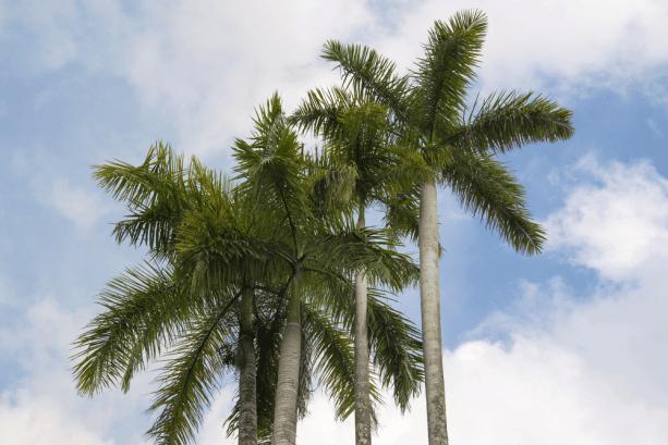 Cây Cau là loài quen thuộc được trồng khắp nơi ở nước ta.