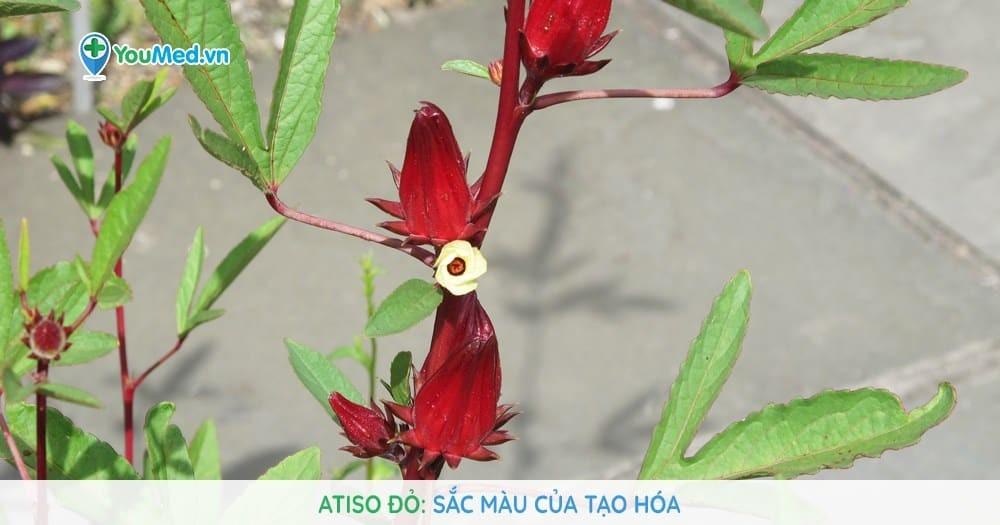 Atiso đỏ: Sắc màu của tạo hóa