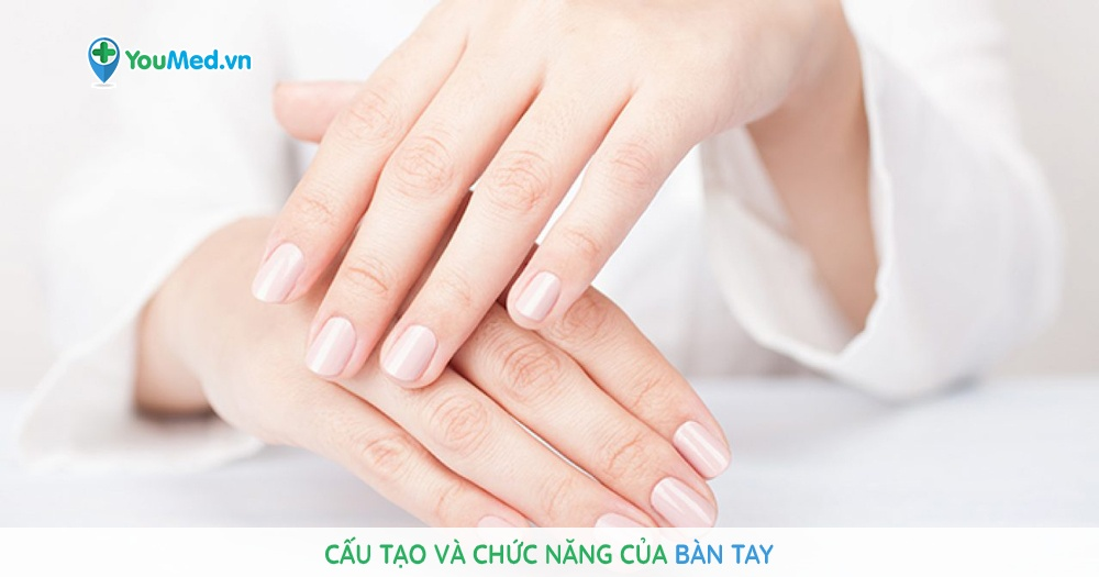 Cấu tạo và chức năng của bàn tay