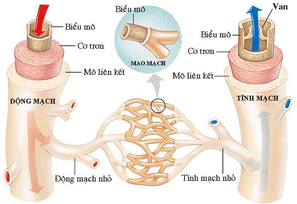 Cấu trúc các mạch máu