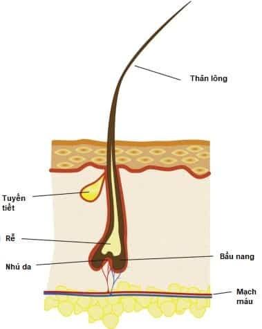 Cấu trúc lông mi