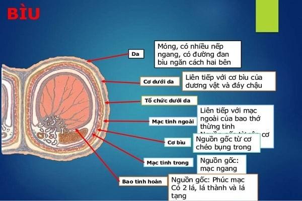Cấu trúc của bìu tinh hoàn gồm 7 lớp