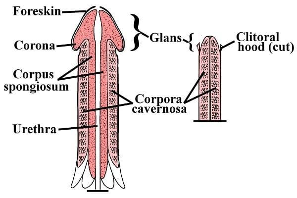 Cấu trúc của dương vật