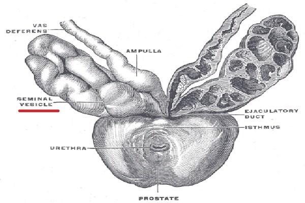 Cấu trúc giải phẫu của túi tinh