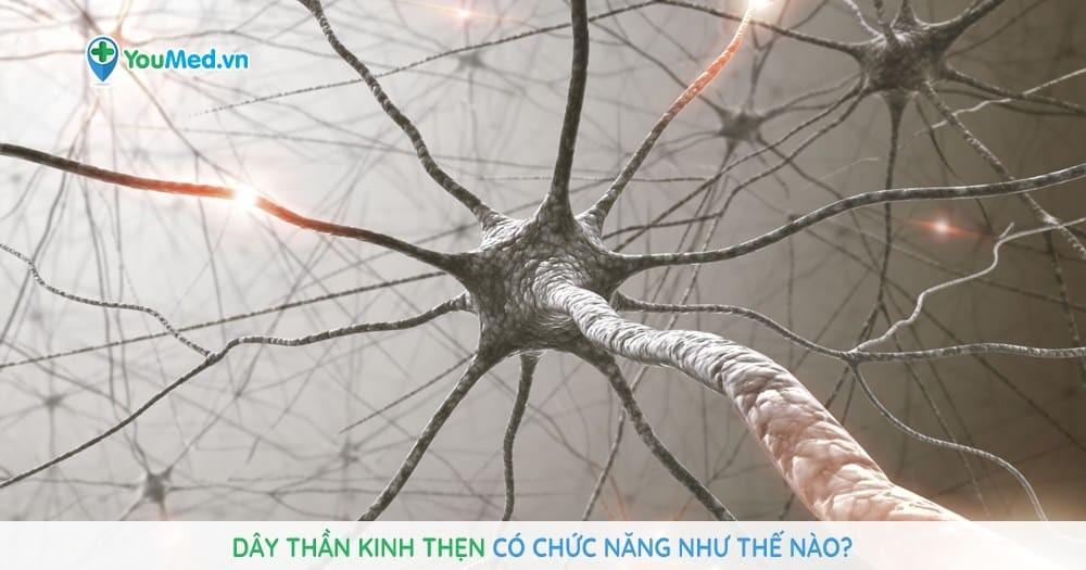 Dây thần kinh thẹn có chức năng như thế nào?