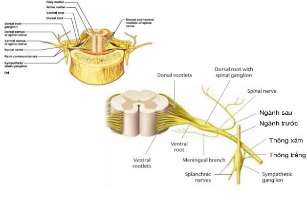 Dây thần kinh tủy được gọi là dây pha