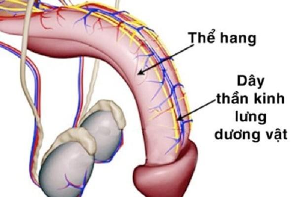 Hệ thống thần kinh ở dương vật của nam giới