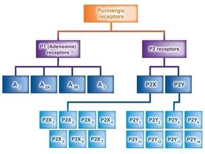 Hệ thống thụ thể purinergic