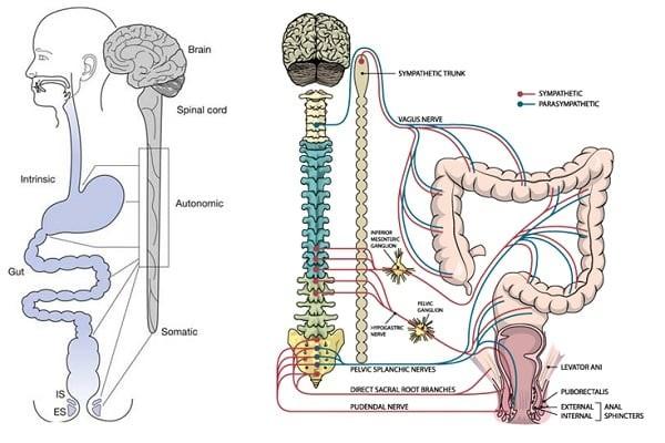 Hệ thống thần kinh ruột