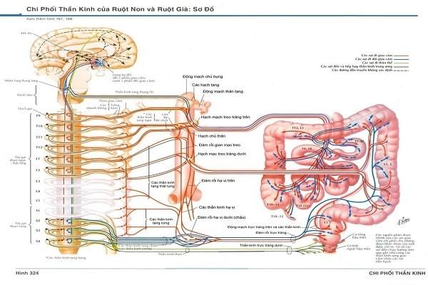 Hệ thống thần kinh tự chủ chi phối ruột già