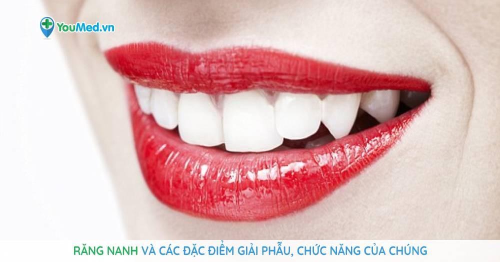 Răng nanh và các đặc điểm giải phẫu, chức năng của chúng