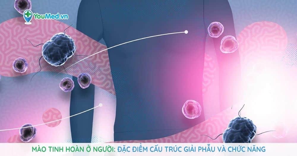 Mào tinh hoàn ở người: Đặc điểm cấu trúc giải phẫu và chức năng