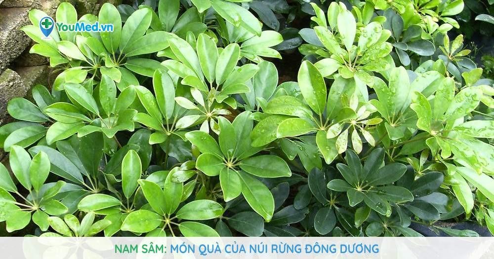 Nam sâm - Món quà của núi rừng Đông Dương