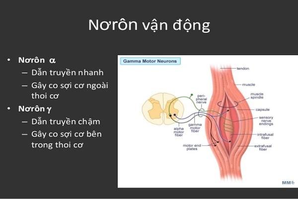 Nhóm sợi thần kinh vận động