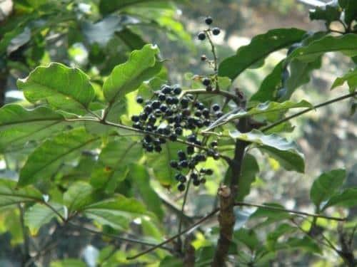 Quả chín của cây Nam sâm